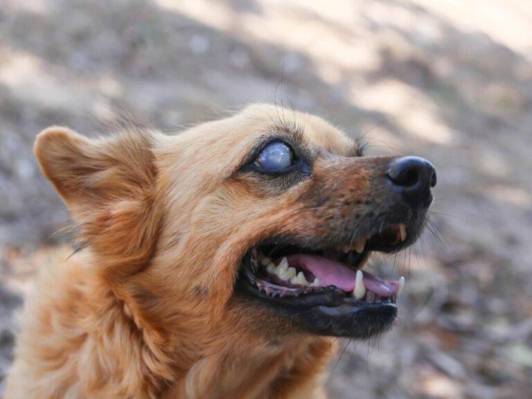 10 sinais de que seu cachorro está ficando cego