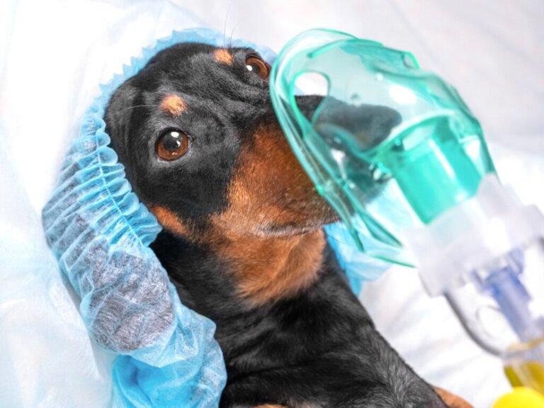 Pneumotórax em cães: características e tratamento