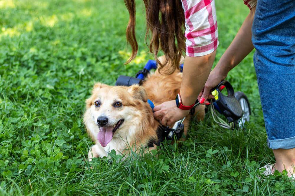 Como cuidar de cães deficientes