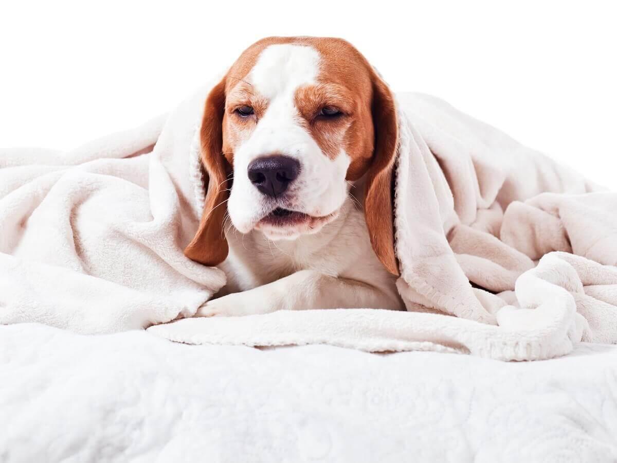 Um cachorro em um cobertor.