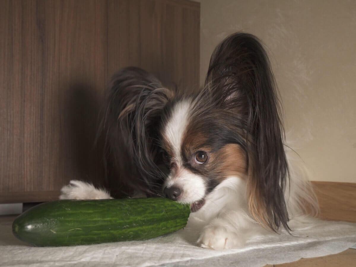 Um cachorro comendo pepino.