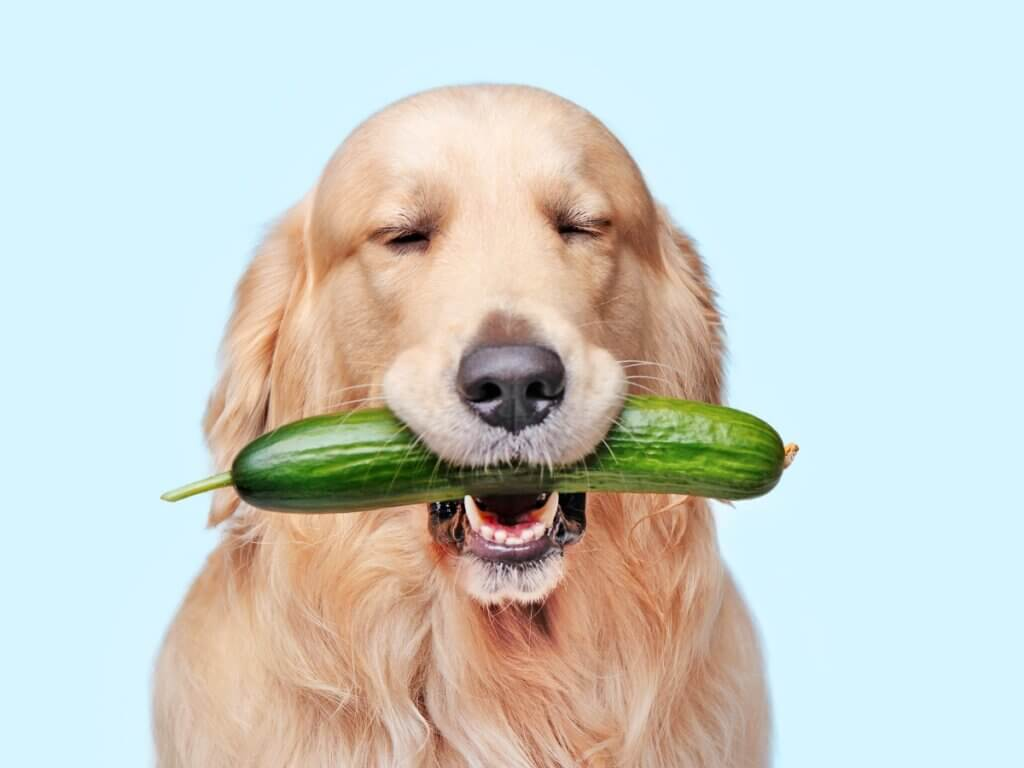 Os cães podem comer pepino?