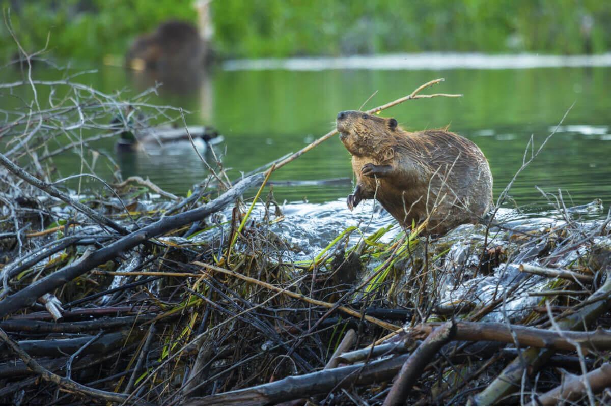 O castor é um dos roedores mais inteligentes