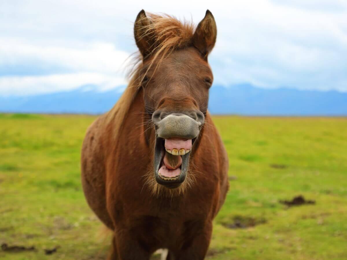 Um cavalo relinchando com um sorriso.