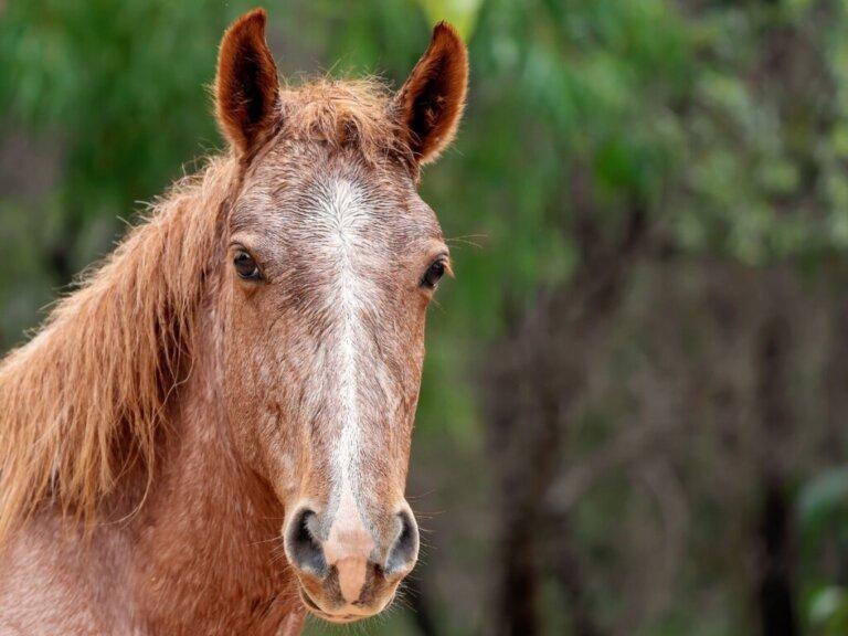 Cavalo brumby: habitat e características
