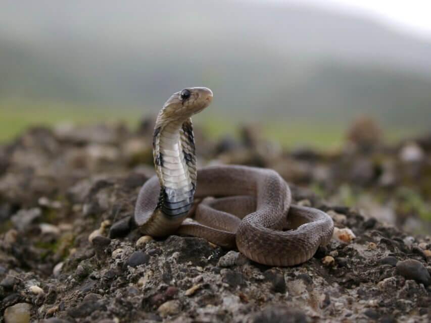 Uma cobra-capelo juvenil.
