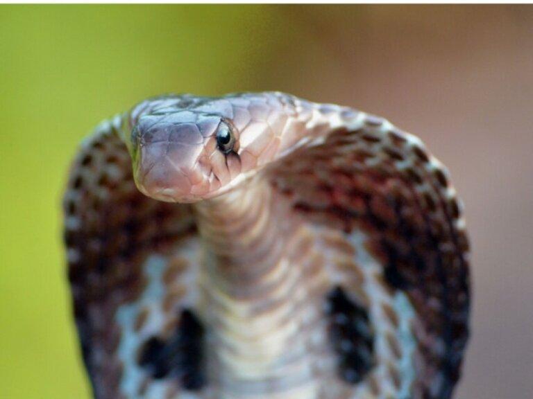 Cobra-capelo: habitat e características