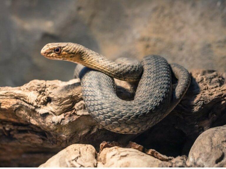 Cobra-rateira: habitat e características