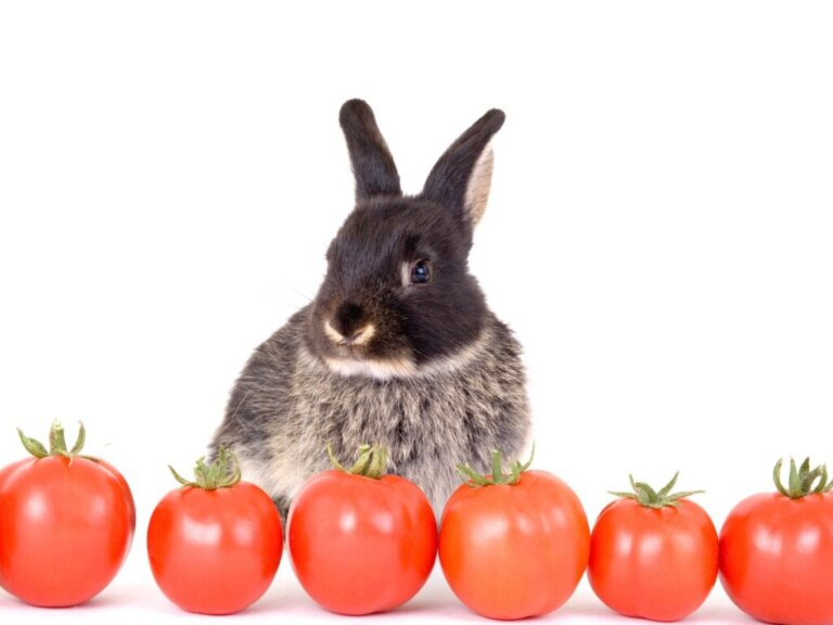 Os coelhos podem comer tomate?