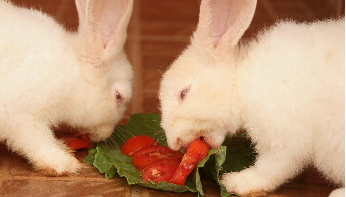 Dois coelhos comem tomate.