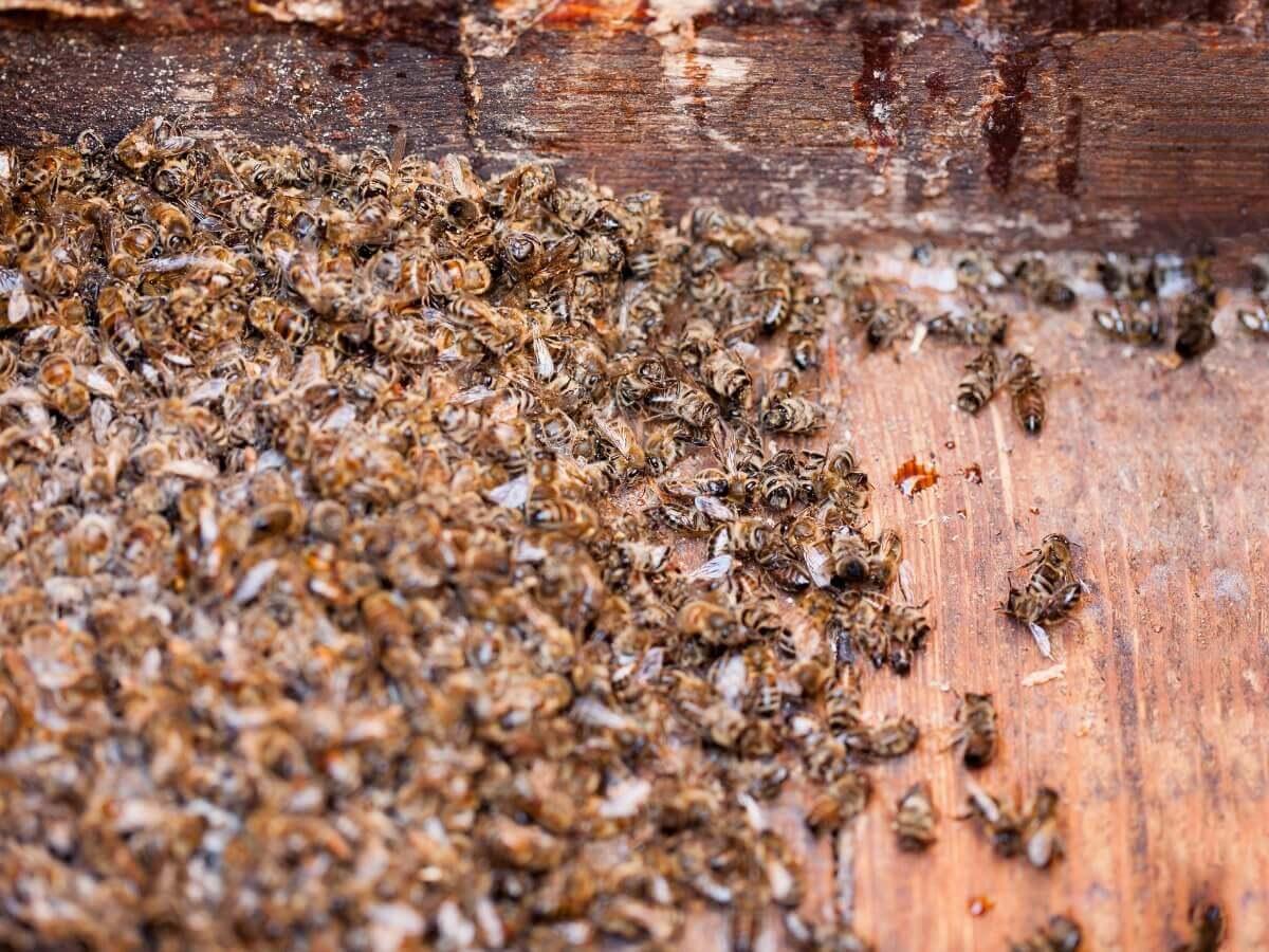 Um grande número de abelhas mortas.