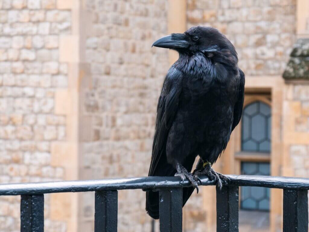 10 curiosidades sobre os corvos