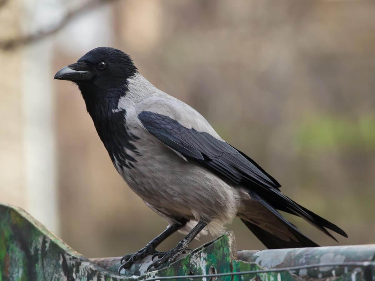 Você quer conhecer 10 curiosidades sobre os corvos?