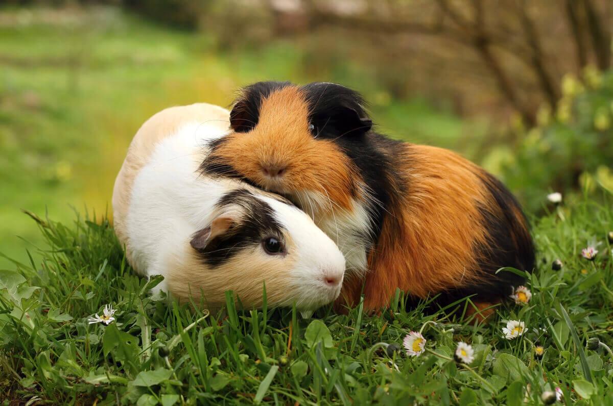 Tamanho: a diferença mais óbvia entre hamster e porquinho-da-índia