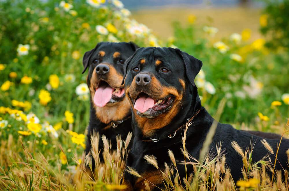 As notáveis diferenças entre o rottweiler americano e alemão