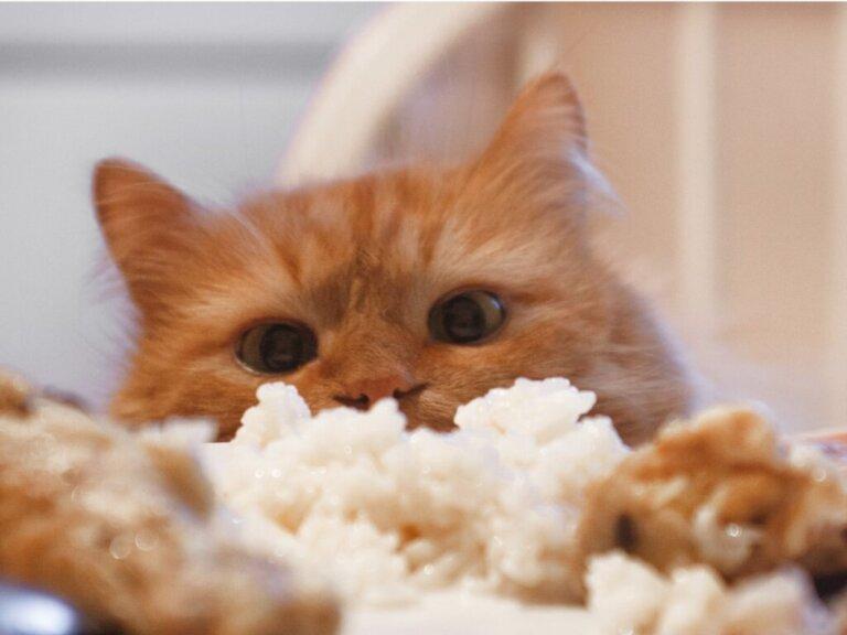Os gatos podem comer arroz?