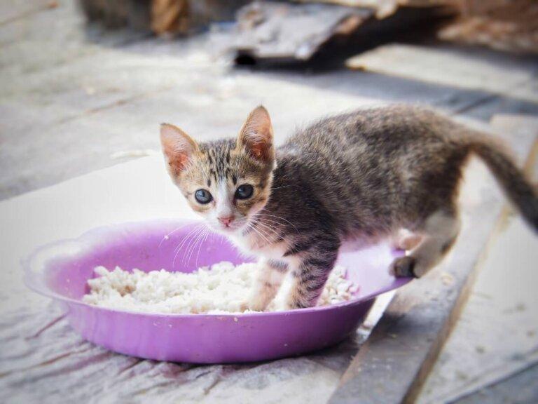 Dieta leve para gatos com diarreia