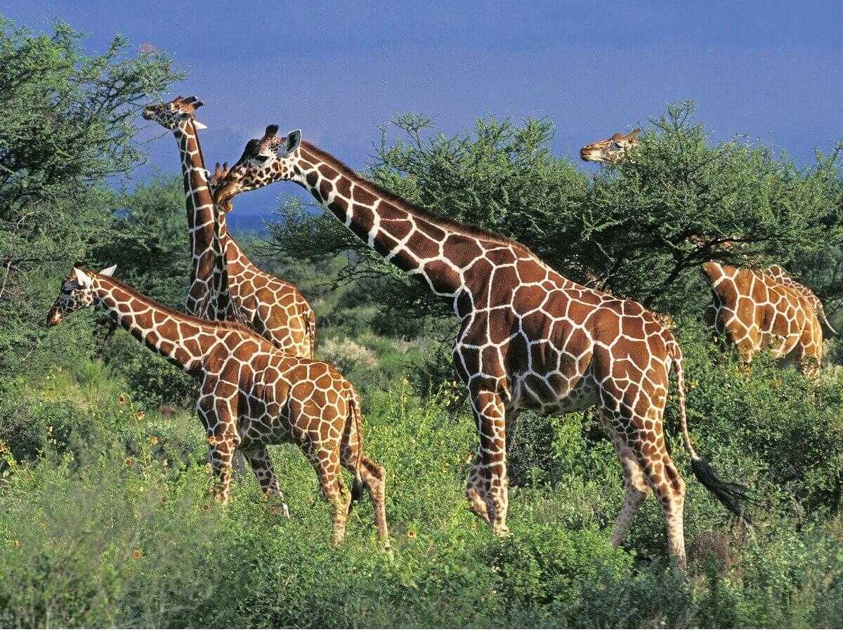 Um grupo de girafa-reticulada.