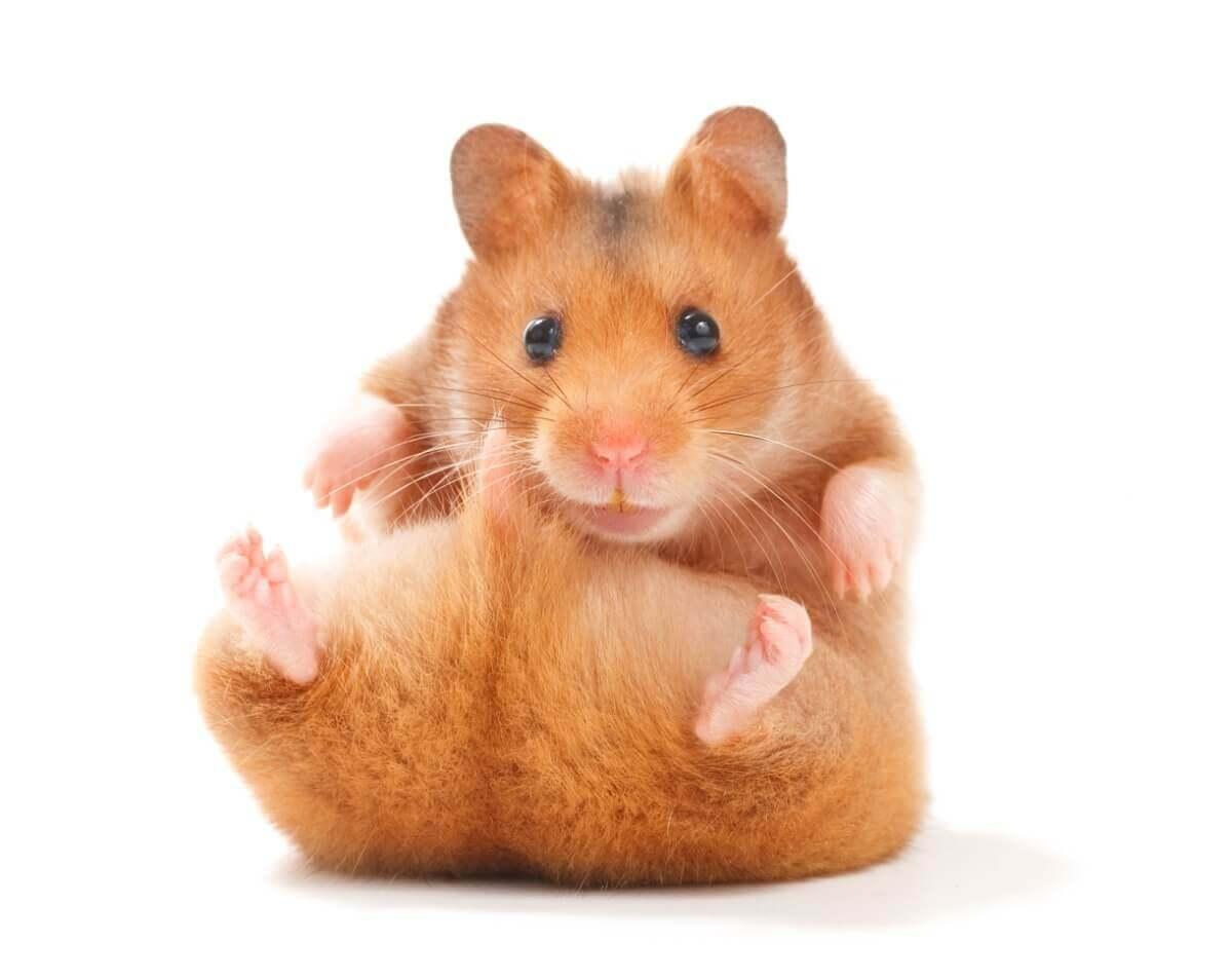 As diferenças entre hamster e porquinhos-da-índia são muitas.