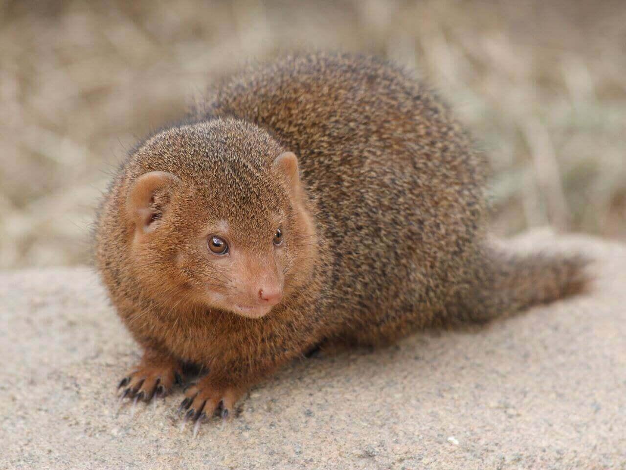 Herpestidae é uma família de um dos animais mais agressivos do mundo.