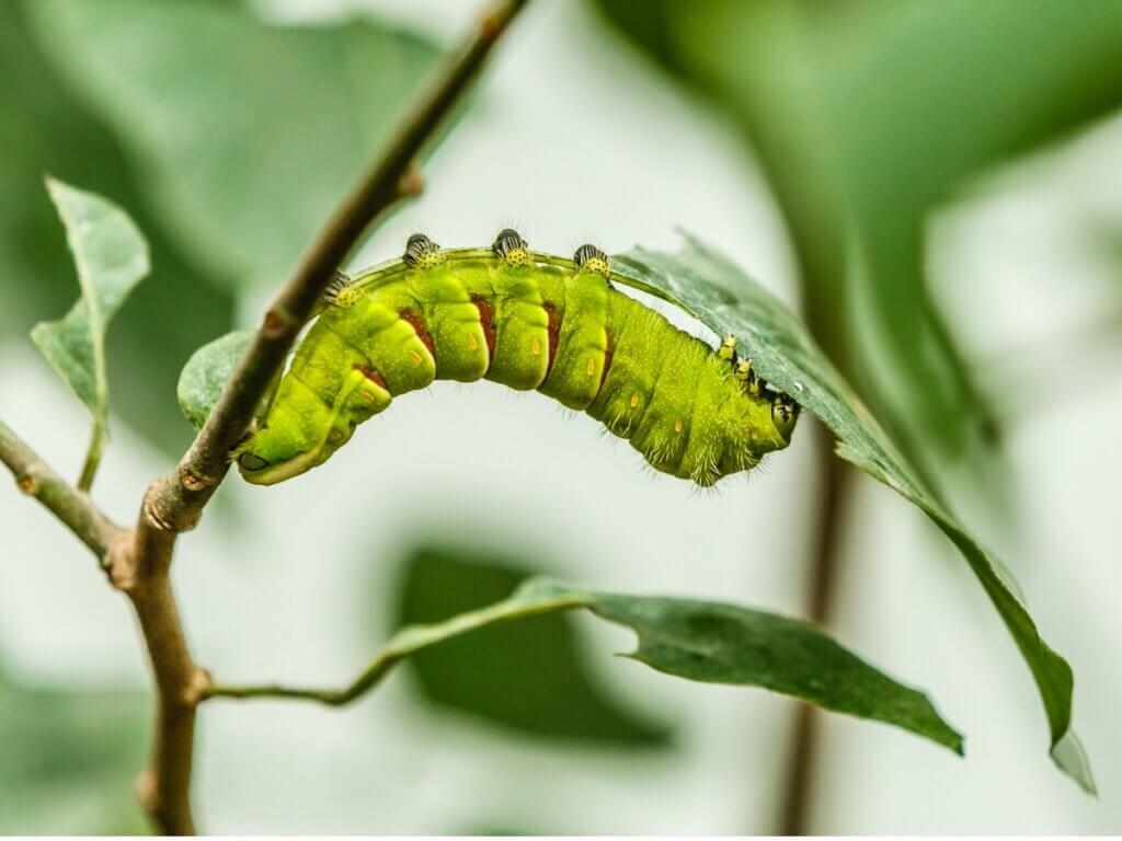 As lagartas são consideradas vermes?