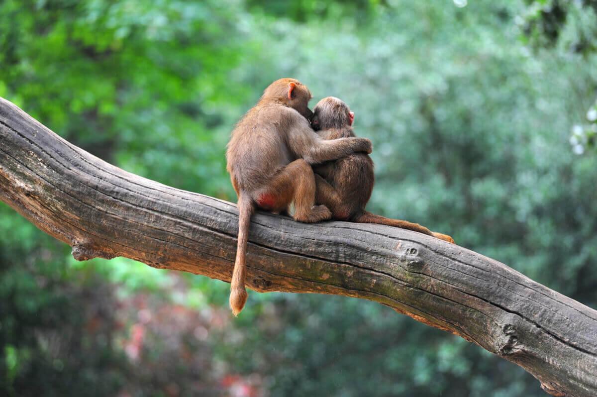 Macacos se abraçando.
