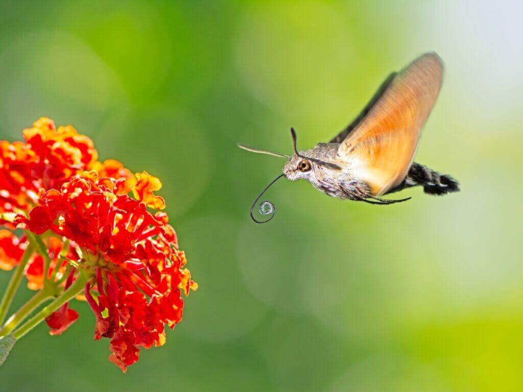 Mariposa-esfinge-colibri: habitat e características