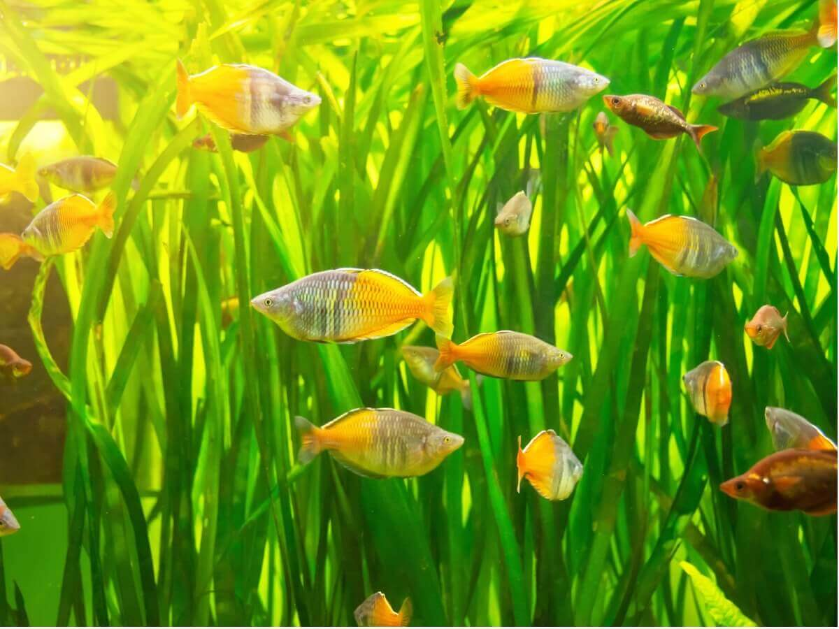 Vários peixes Melanotaenia boesemani.