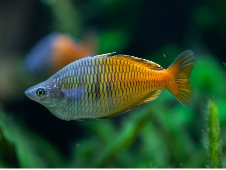 Peixe Melanotaenia boesemani: características e cuidados