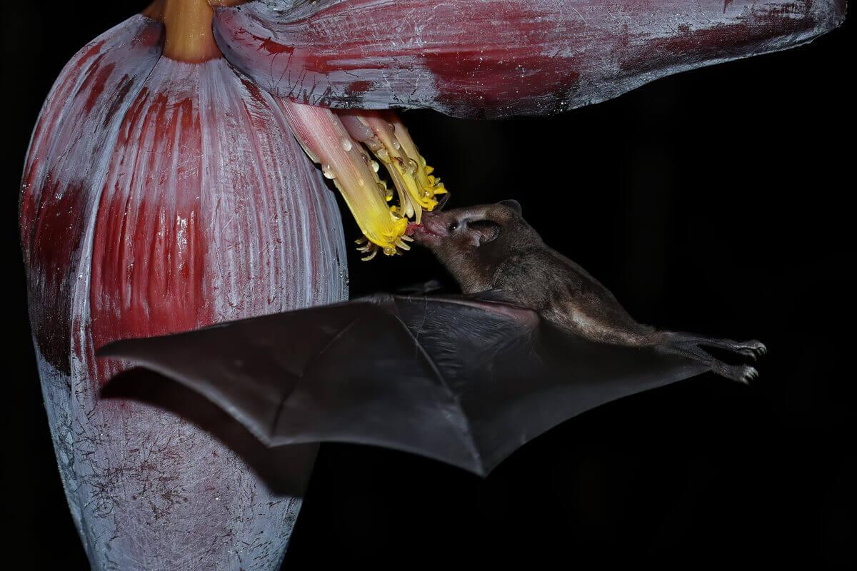 Morcegos e polinização são termos intercambiáveis.