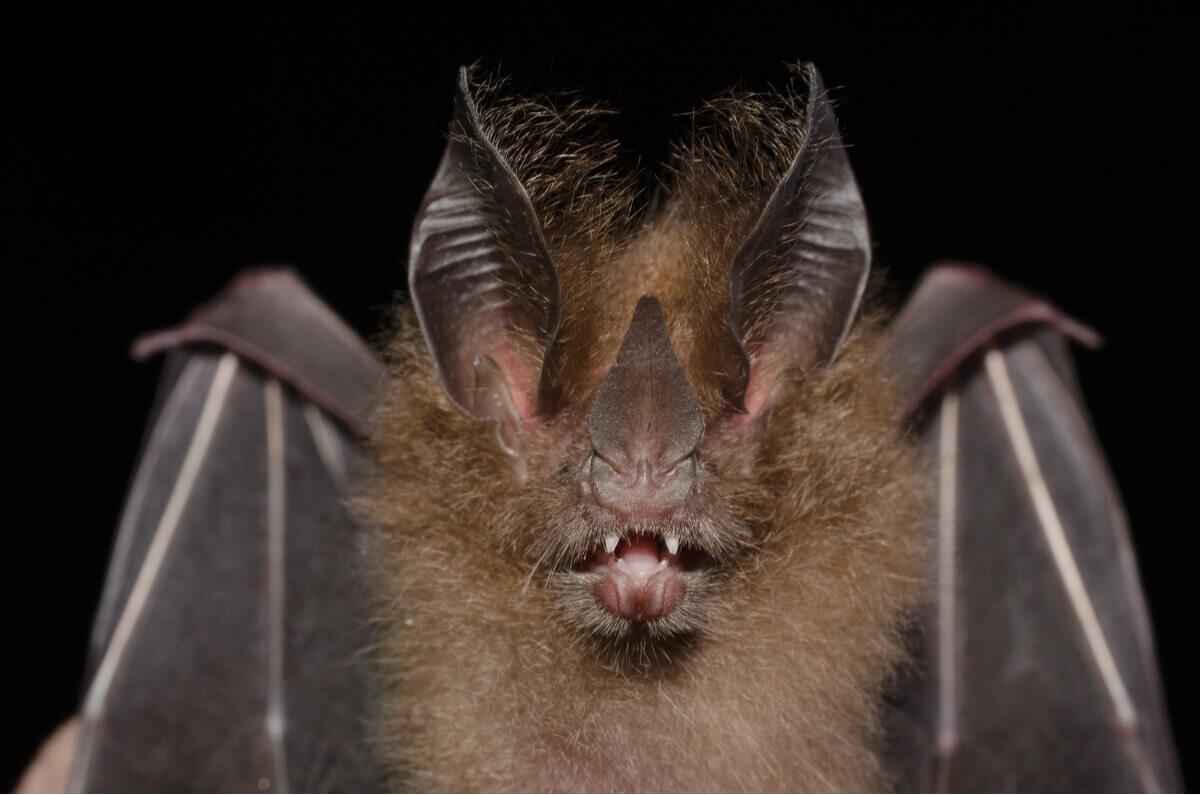 Um dos tipos de morcego.