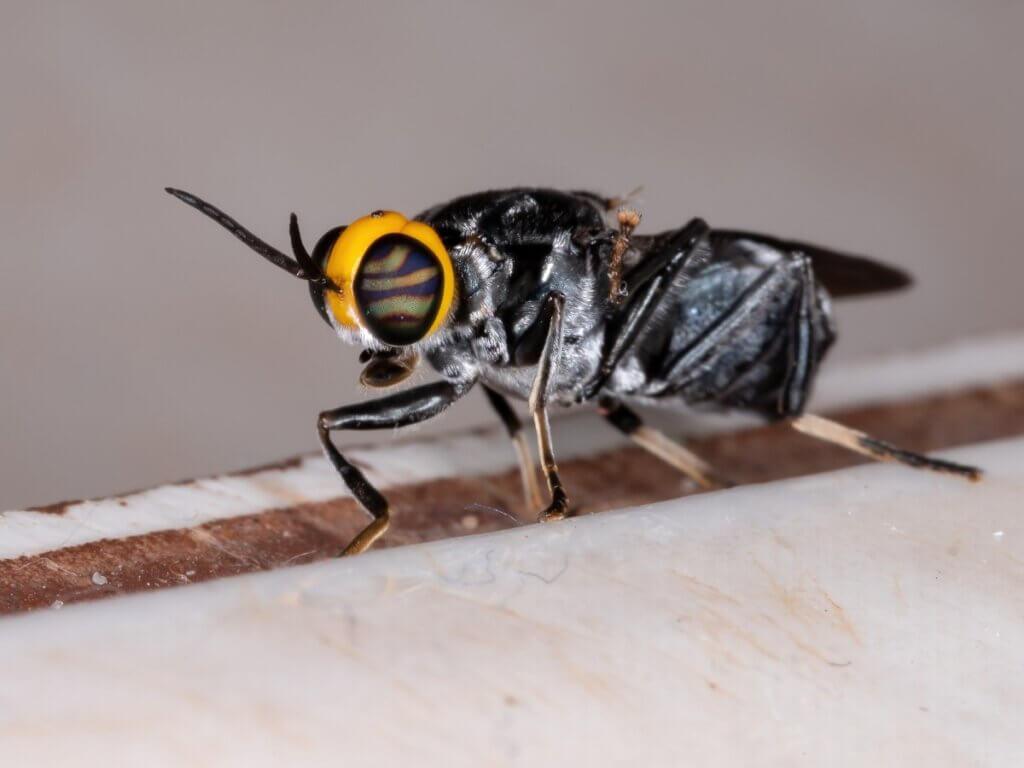 Ciclo de vida das moscas