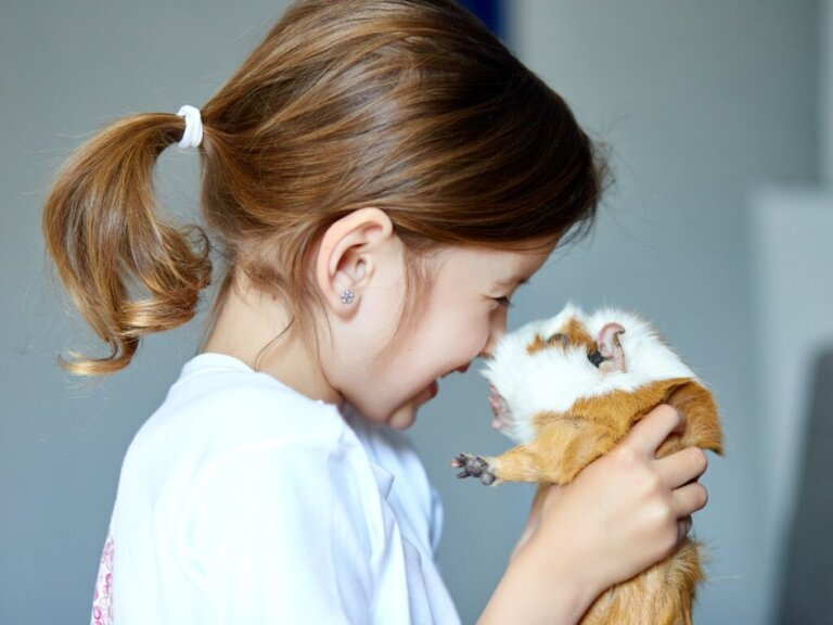 Diferenças entre hamster e porquinho-da-índia