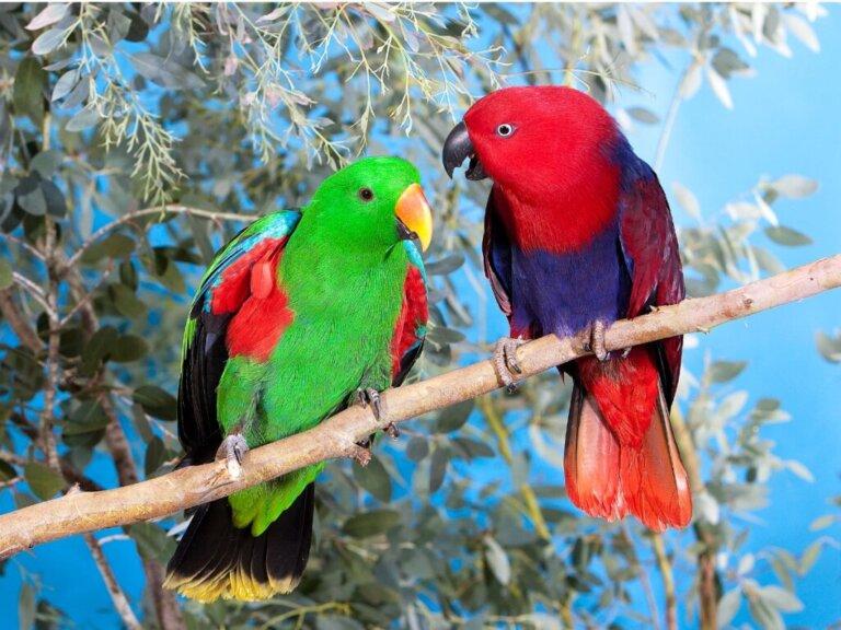 Papagaio-eclectus: habitat e características