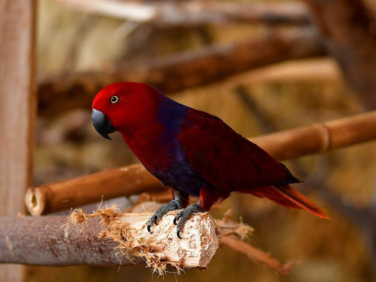 Um papagaio-eclectus empoleirado.