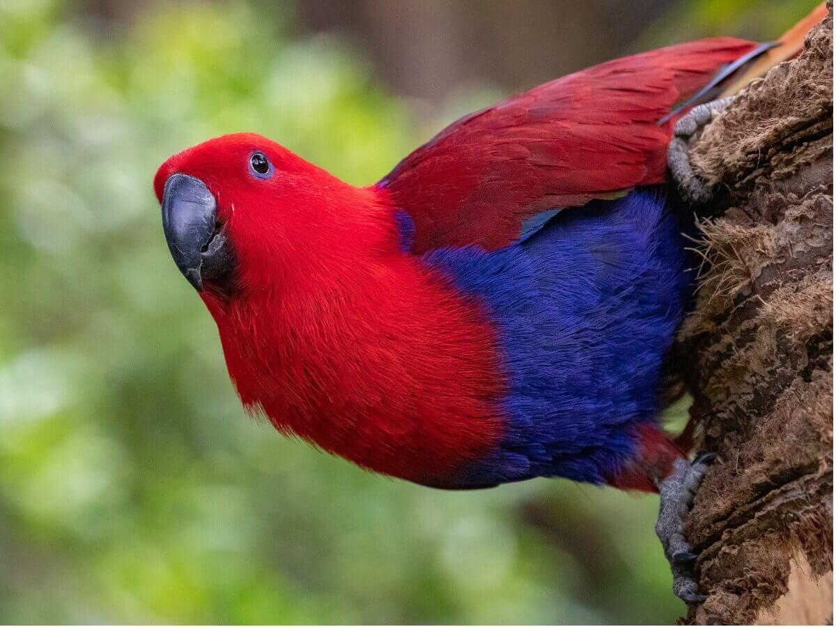 Um papagaio-eclectus vermelho e azul.