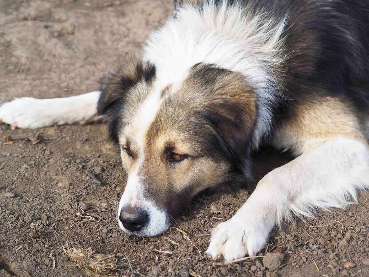 Um pastor-romeno-dos-cárpatos deitado.
