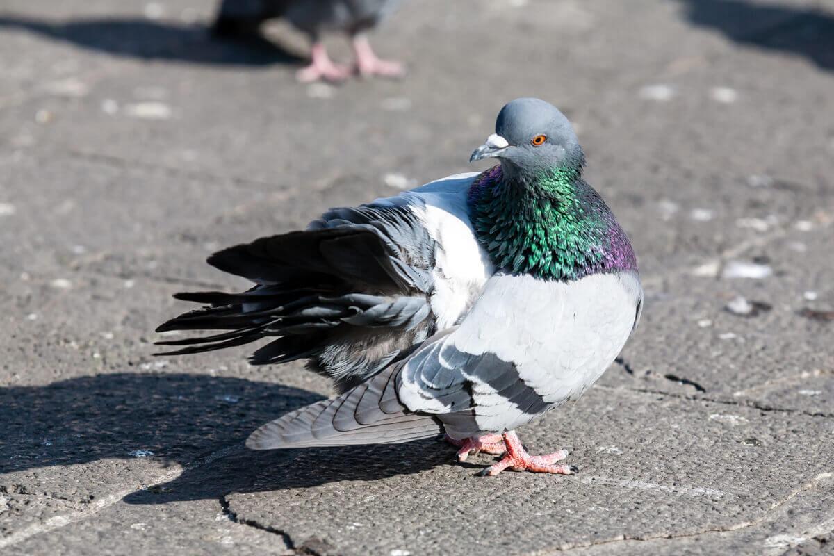 Conheça o comportamento dos pombos