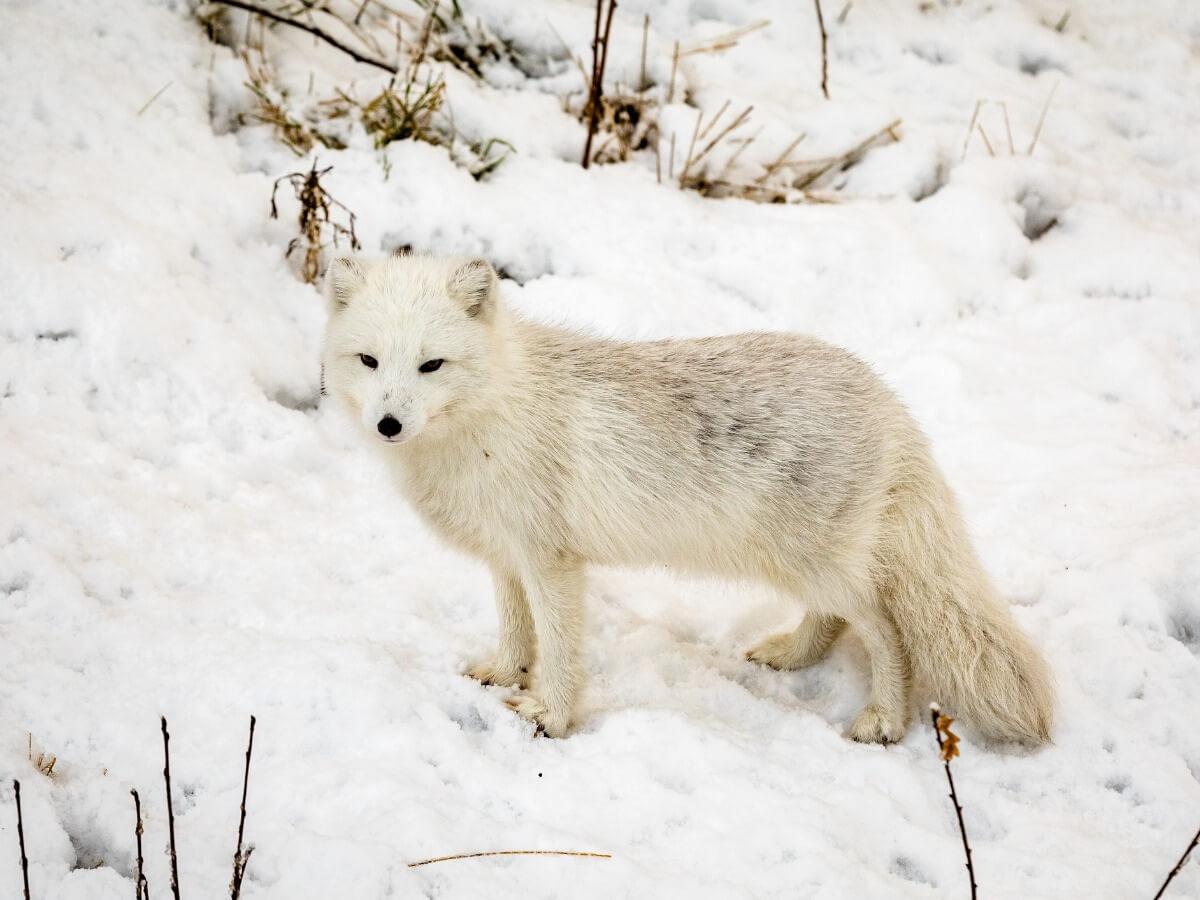 Um dos animais ameaçados de extinção no Polo Norte.