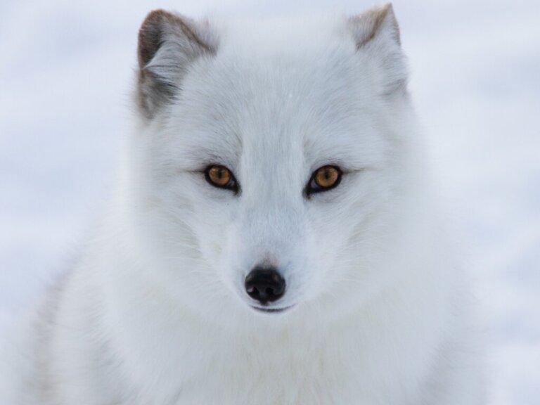 5 animais ameaçados de extinção no Polo Norte