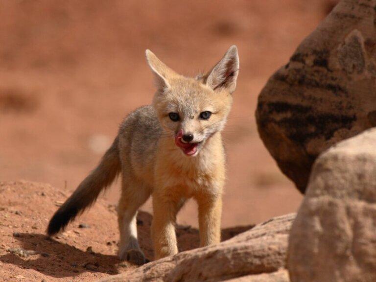 Raposa-veloz: habitat e características