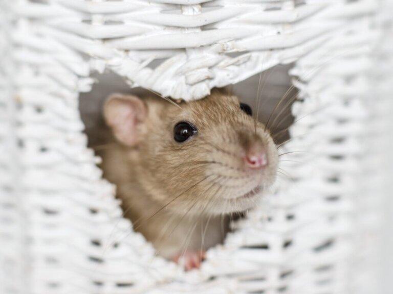 Os 6 roedores mais inteligentes