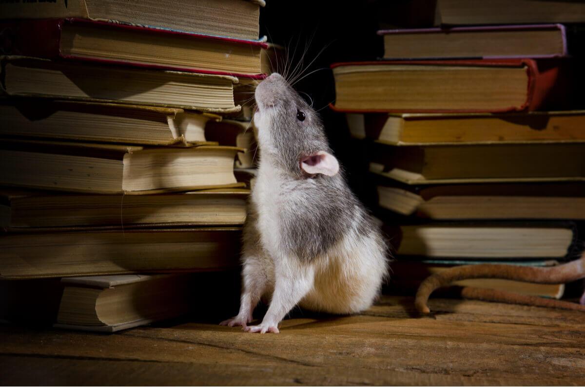 Ratos são animais que vivem escondidos em sua casa.