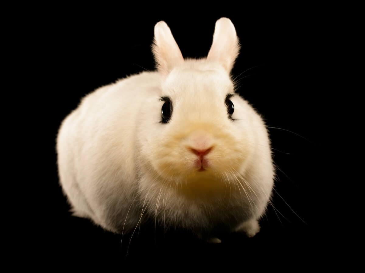 Um coelho hotot.