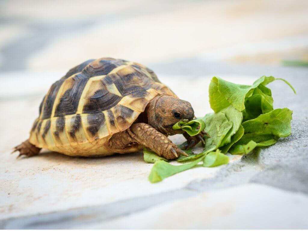 O que as tartarugas comem?