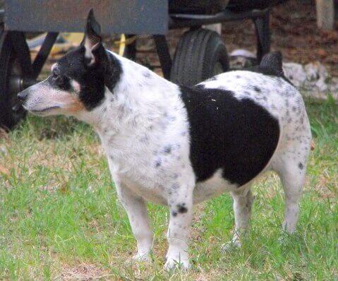 Teddy roosevelt terrier: tudo sobre essa raça