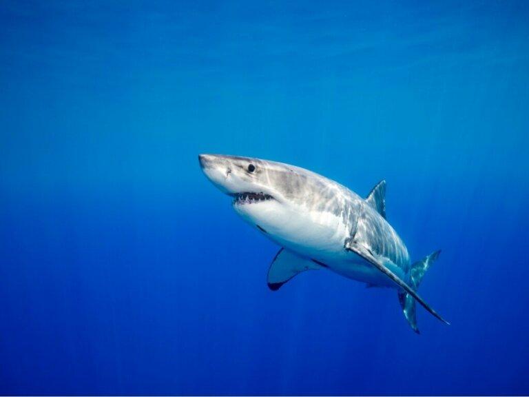 Os tubarões têm relações afetivas duradouras