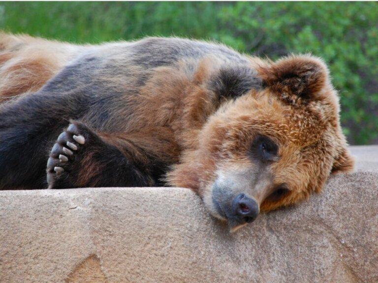 """Verdadeiro """"irmão urso"""", Joaquin Phoenix defende os ursos em um show itinerante"""
