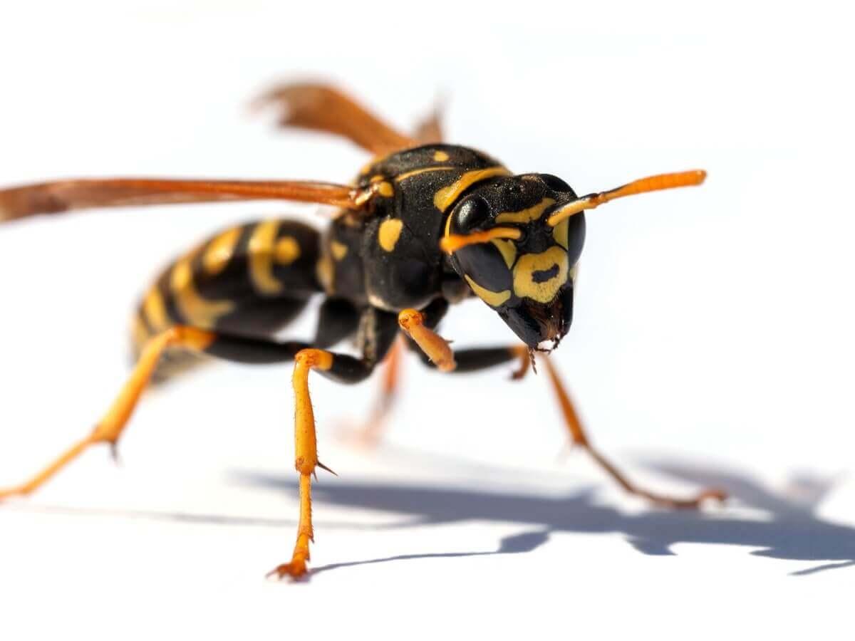 Uma vespa em um fundo branco.