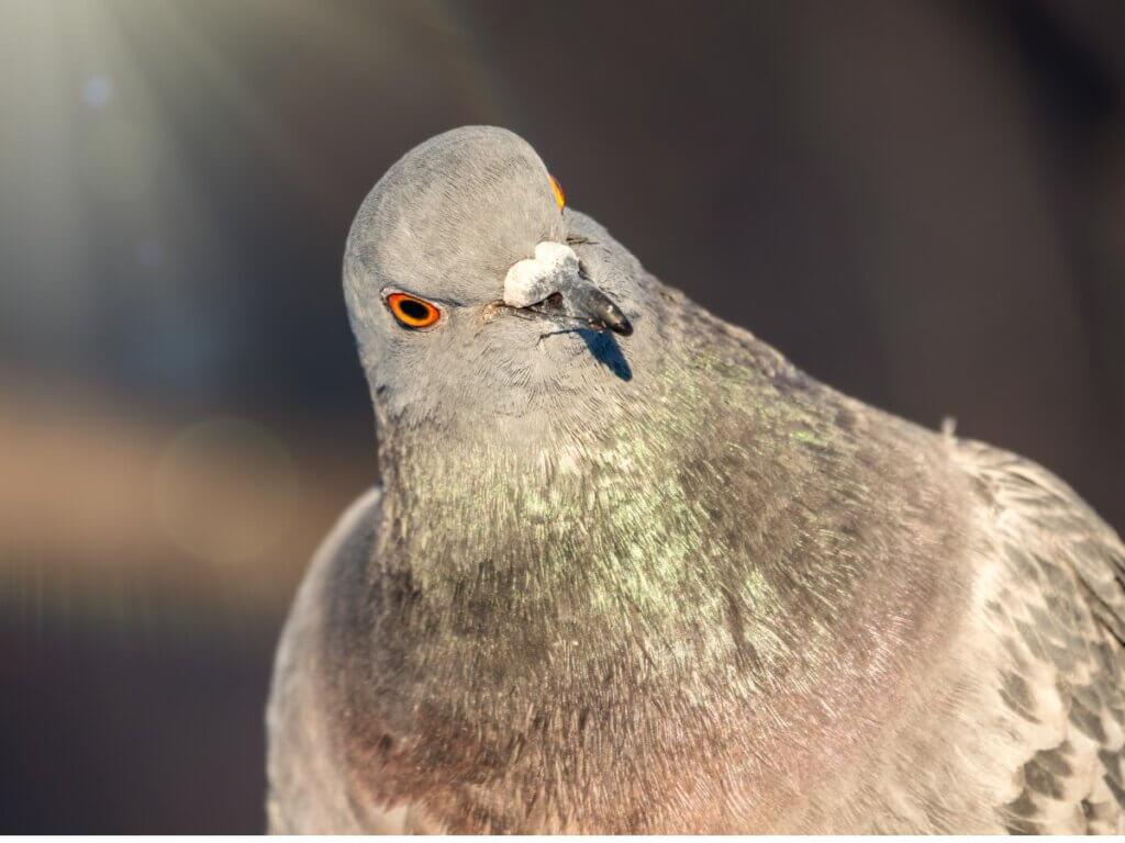 O comportamento dos pombos